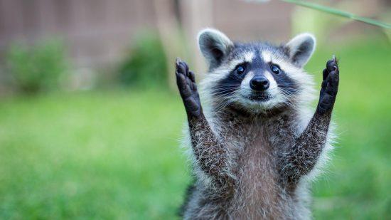 Un raton laveur levant les bras pour exprimer la prise de parole en public