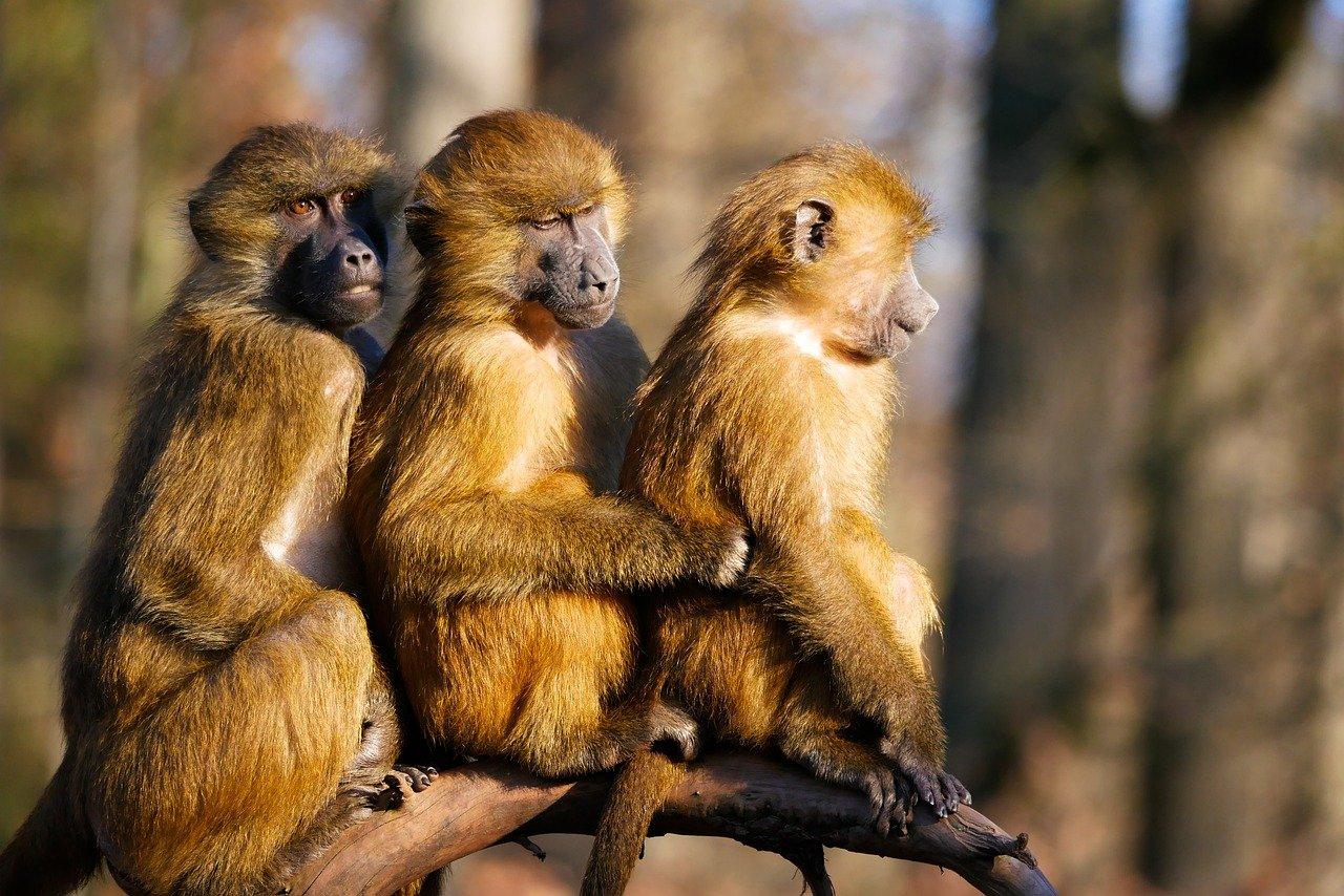 Trois singes dans une forêt regardent dans la même direction.