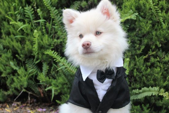 Un petit chien porte un costume