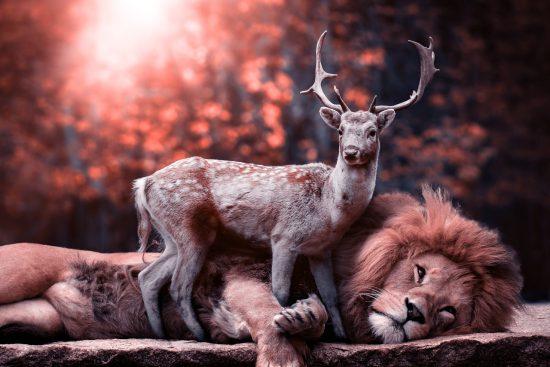 Un cervidé et un lion se repose ensemble
